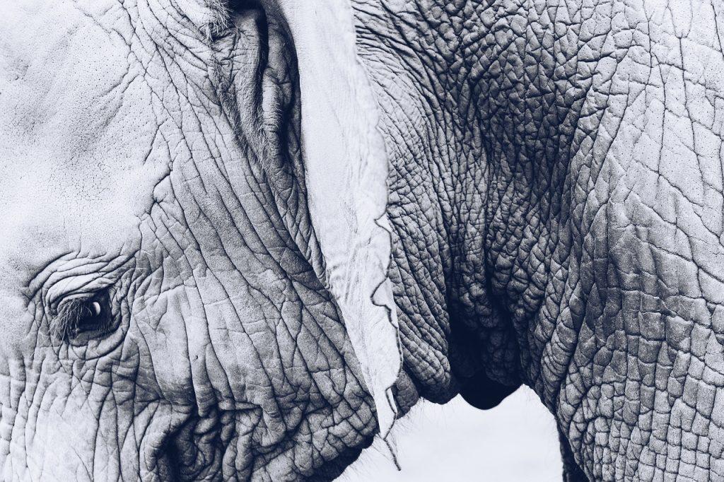 Falten in der Haut eines  Elefanten zur Veranschaulichung der Faltenentstehung durch freie Radikale