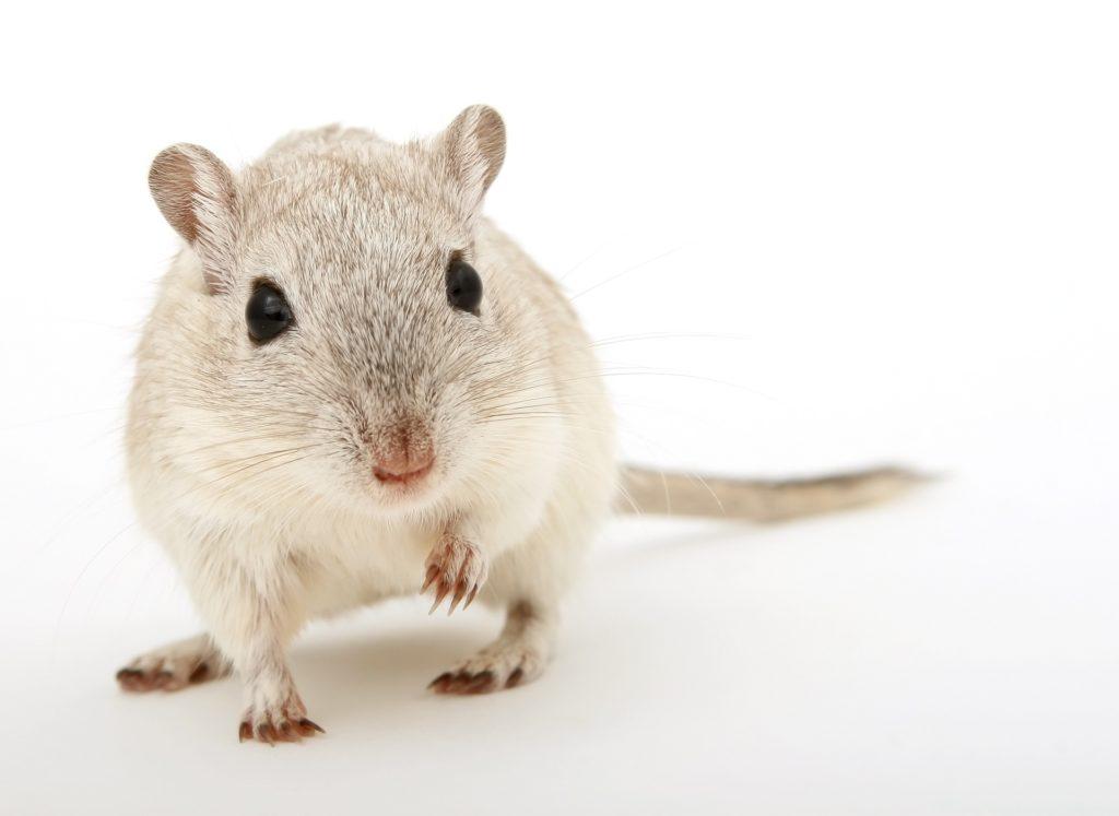 Weiss-graue Maus, Labortier